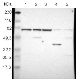 Western blot - Anti-WDR25 antibody (ab121170)