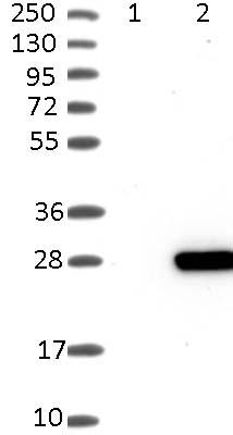 Western blot - Anti-PTP4A1 antibody (ab121185)
