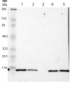 Western blot - Anti-RPLP1 antibody (ab121190)