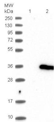 Western blot - Anti-IFT43 antibody (ab121195)