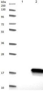 Western blot - Anti-C14orf119 antibody (ab121205)