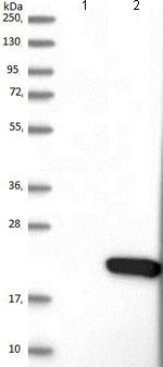 Western blot - Anti-PDZD11 antibody (ab121210)