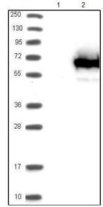 Western blot - Anti-TCP11L1 antibody (ab121231)