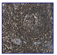 Immunohistochemistry (Formalin/PFA-fixed paraffin-embedded sections) - Anti-USP40 antibody (ab121234)