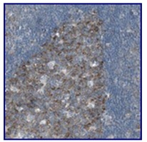 Immunohistochemistry (Formalin/PFA-fixed paraffin-embedded sections) - Anti-RPS12 antibody (ab121247)