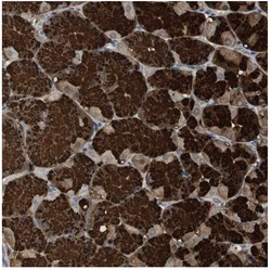 Immunohistochemistry (Formalin/PFA-fixed paraffin-embedded sections) - Anti-ZNF50 antibody (ab121252)