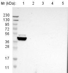 Western blot - Anti-GRAMD1B antibody (ab121286)