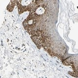 Immunohistochemistry (Formalin/PFA-fixed paraffin-embedded sections) - Anti-C10orf58 antibody (ab121296)