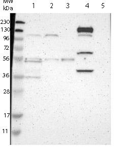 Western blot - Anti-C20orf26  antibody (ab121300)