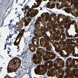 Immunohistochemistry (Formalin/PFA-fixed paraffin-embedded sections) - Anti-CCDC51  antibody (ab121329)
