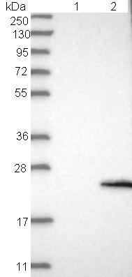 Western blot - Anti-FMR1NB antibody (ab121339)