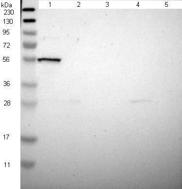 Western blot - Anti-NPRL3 antibody (ab121346)