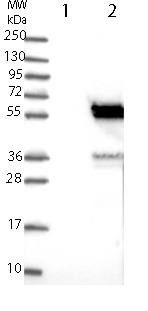 Western blot - Anti-KIAA0513  antibody (ab121382)