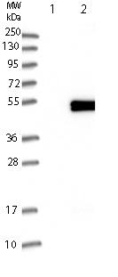 Western blot - Anti-Synaptotagmin VII antibody (ab121383)