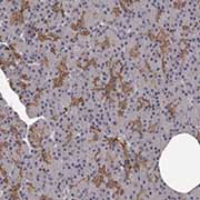 Immunohistochemistry (Formalin/PFA-fixed paraffin-embedded sections) - Anti-GPCR GPR78 antibody (ab121390)