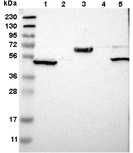 Western blot - Anti-WSCD2 antibody (ab121392)