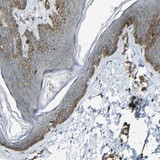 Immunohistochemistry (Formalin/PFA-fixed paraffin-embedded sections) - Anti-RELL1 antibody (ab121394)