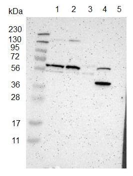 Western blot - Anti-FAM171B antibody (ab121399)