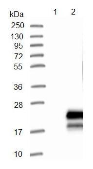 Western blot - Anti-C7orf53 antibody (ab121406)