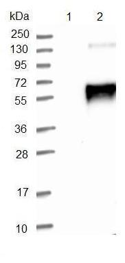 Western blot - Anti-LRTM1 antibody (ab121409)