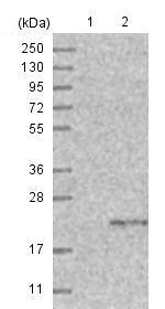 Western blot - Anti-TMEM207 antibody (ab121421)