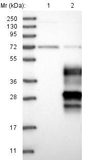 Western blot - Anti-OPALIN antibody (ab121425)