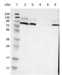 Western blot - Anti-C10orf118  antibody (ab121440)