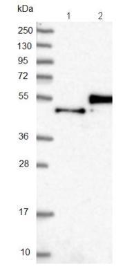Western blot - Anti-FAM187B antibody (ab121445)