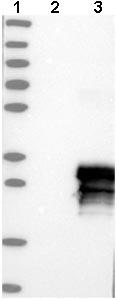 Western blot - Anti-MCEMP1 antibody (ab121447)