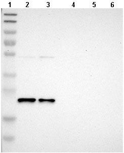Western blot - Anti-YIF1A antibody (ab121455)