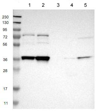 Western blot - Anti-NSRP1 antibody (ab121478)