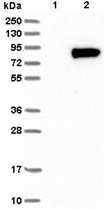 Western blot - Anti-WSCD1 antibody (ab121491)