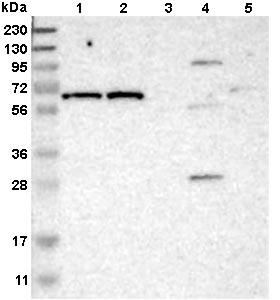 Western blot - Anti-IFFO2 antibody (ab121494)
