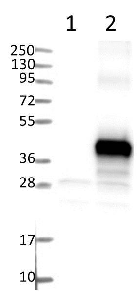 Western blot - Anti-C9ORF91 antibody (ab121527)