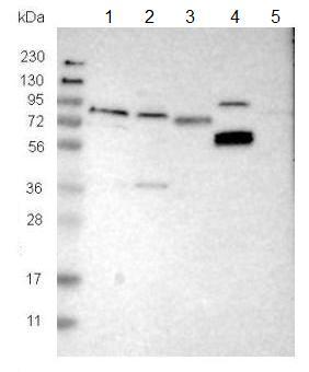 Western blot - Anti-FRRS1 antibody (ab121538)
