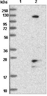 Western blot - Anti-TMEM186 antibody (ab121565)