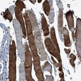 Immunohistochemistry (Formalin/PFA-fixed paraffin-embedded sections) - Anti-RWDD2B antibody (ab121567)