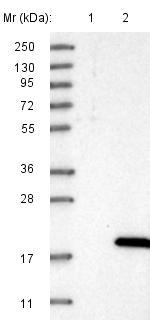 Western blot - Anti-DSCR4 antibody (ab121570)