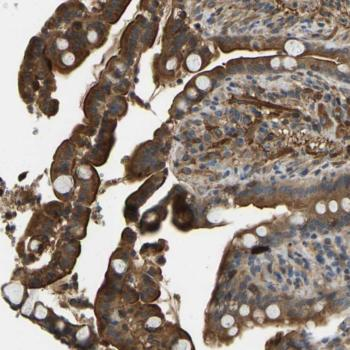 Immunohistochemistry (Formalin/PFA-fixed paraffin-embedded sections) - Anti-ERGIC1 antibody (ab121582)