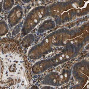 Immunohistochemistry (Formalin/PFA-fixed paraffin-embedded sections)-Anti-ERGIC1 antibody(ab121582)