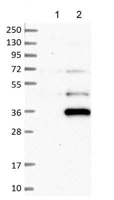 Western blot - Anti-C7orf36 antibody (ab121595)