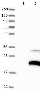 Western blot - Anti-ZFAND2A antibody (ab121602)