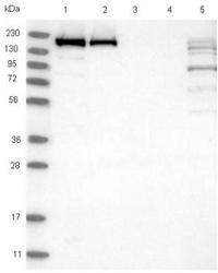 Western blot - Anti-SAMD9 antibody (ab121664)