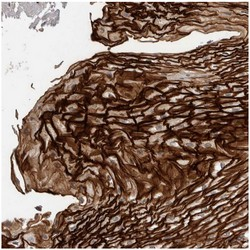 Immunohistochemistry (Formalin/PFA-fixed paraffin-embedded sections) - Anti-C9orf169 antibody (ab121700)