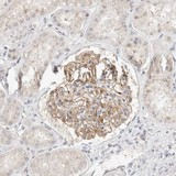 Immunohistochemistry (Formalin/PFA-fixed paraffin-embedded sections) - Anti-TOM1L2 antibody (ab121716)