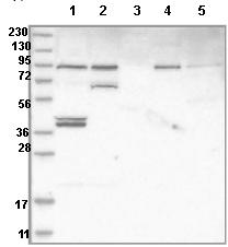Western blot - Anti-EFCAB5 antibody (ab121722)