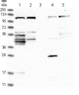 Western blot - Anti-FAM83G antibody (ab121750)