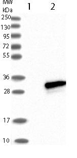 Western blot - Anti-EFCAB1 antibody (ab121758)