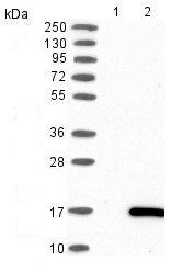 Western blot - Anti-LYNX1 antibody (ab121772)