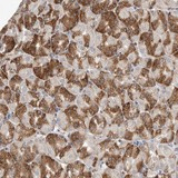 Immunohistochemistry (Formalin/PFA-fixed paraffin-embedded sections) - Anti-C9orf5 antibody (ab121781)
